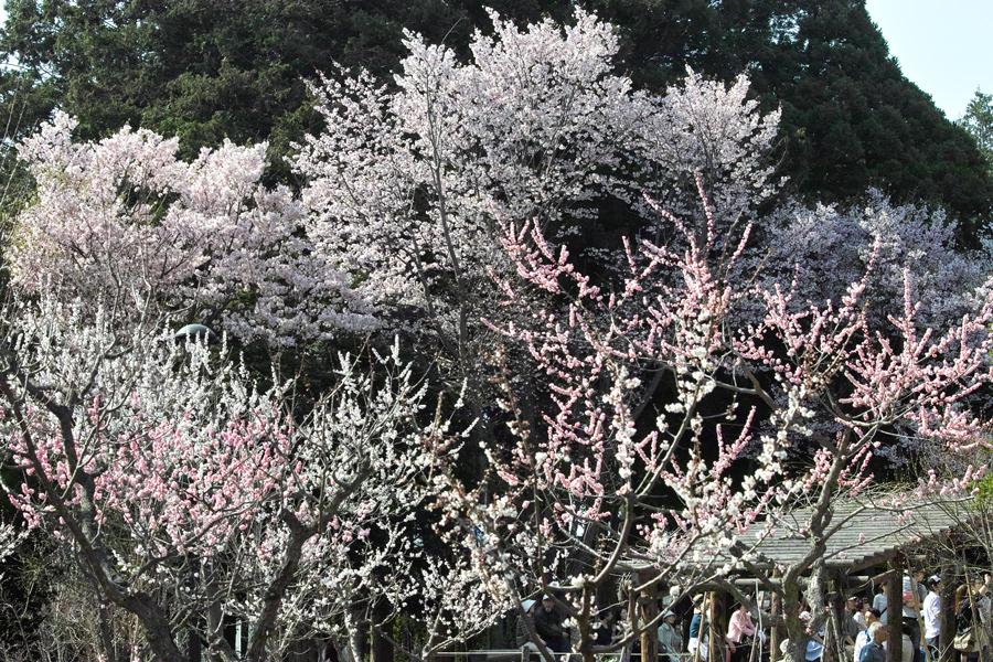 サクラが満開の北海道神宮_c0223825_0551948.jpg