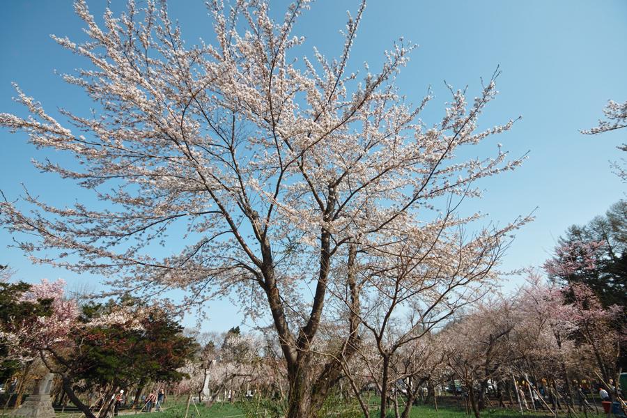 サクラが満開の北海道神宮_c0223825_075625.jpg