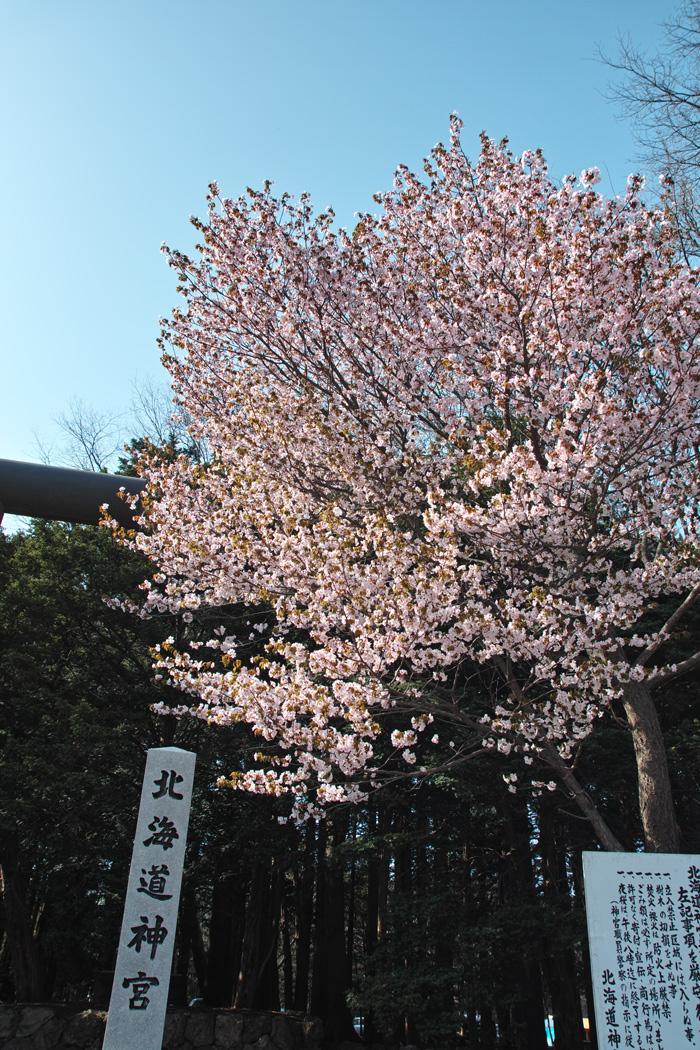 サクラが満開の北海道神宮_c0223825_101056.jpg