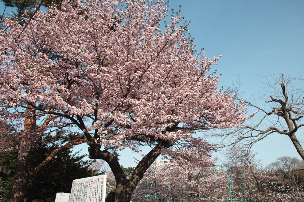 サクラが満開の北海道神宮_c0223825_152128.jpg
