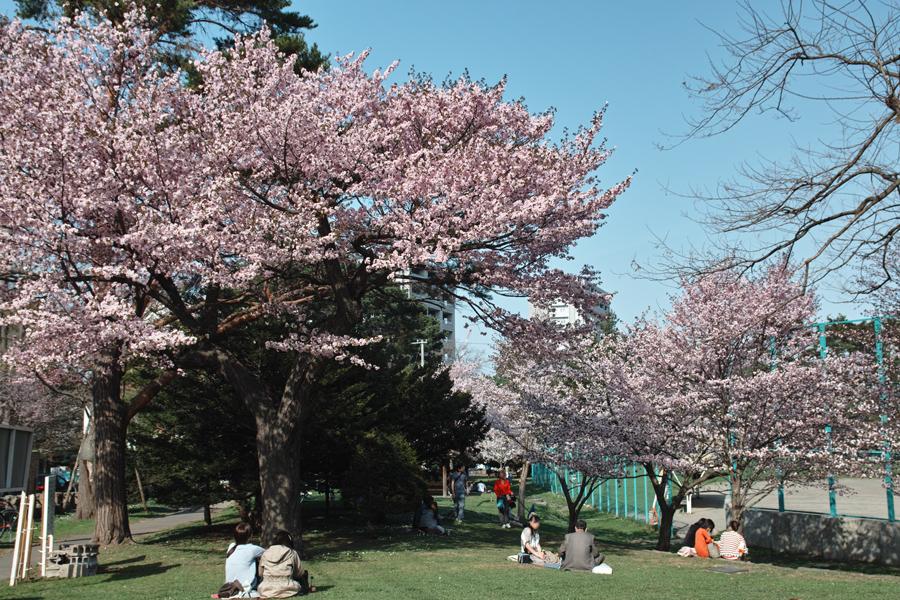 サクラが満開の北海道神宮_c0223825_191424.jpg