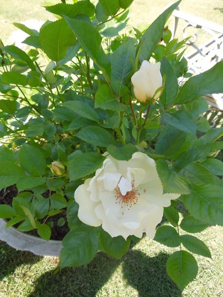 我が家の庭も賑やかになりましたNO2_d0171630_1646561.jpg