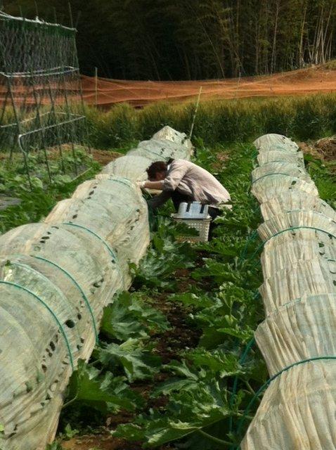 レモンバーベナの定植・・ズッキーニの収穫&グリンピース&スナックエンドウの収穫_c0222448_13115664.jpg