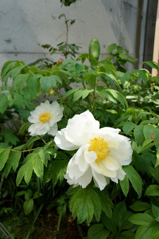 中庭の牡丹 2012_b0151262_23381657.jpg