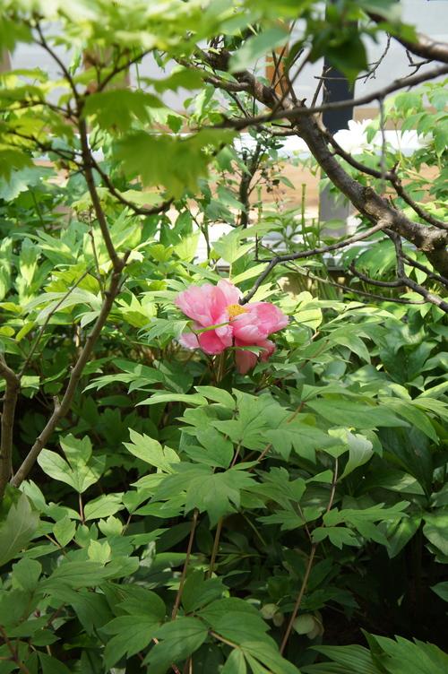 中庭の牡丹 2012_b0151262_23392242.jpg