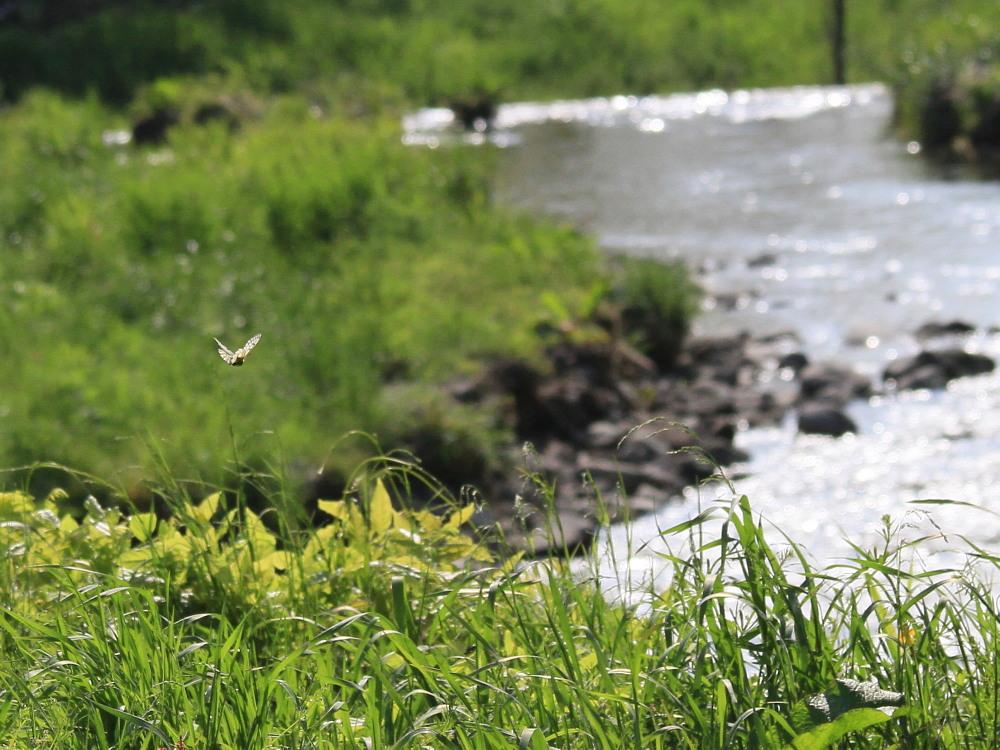 ウスバシロチョウ  滝の舞  2012.5.14群馬県_a0146869_5514666.jpg