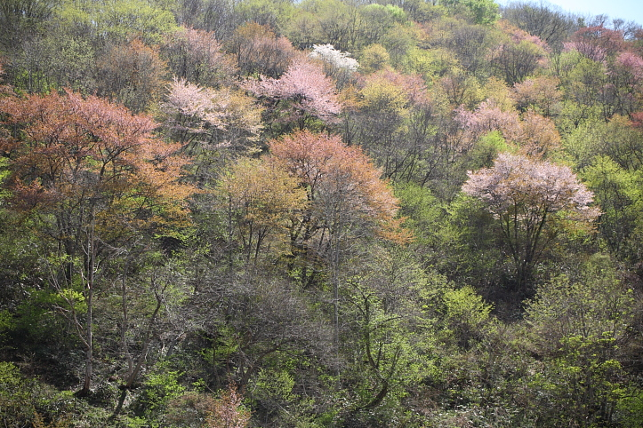 福島 桜巡り 下郷町・戸赤の山桜 その2_e0165983_1802372.jpg