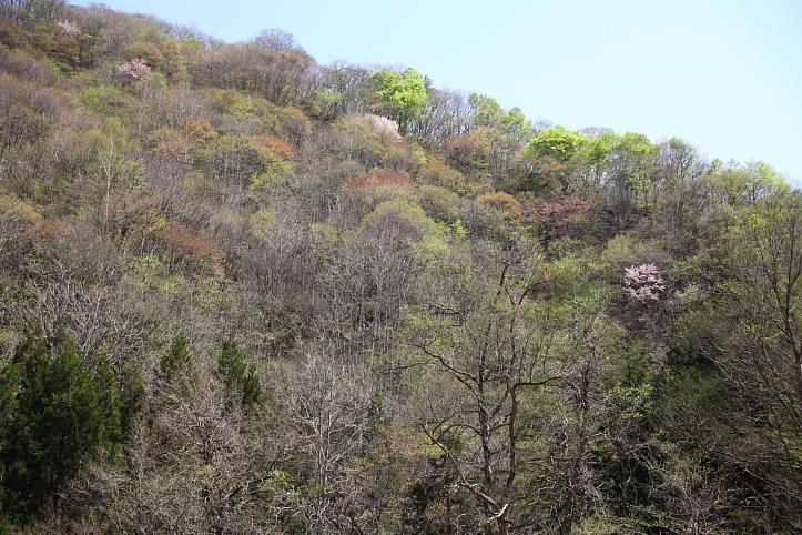 福島 桜巡り 下郷町・戸赤の山桜 その2_e0165983_183767.jpg