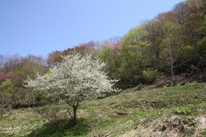 福島 桜巡り 下郷町・戸赤の山桜 その2_e0165983_1844091.jpg