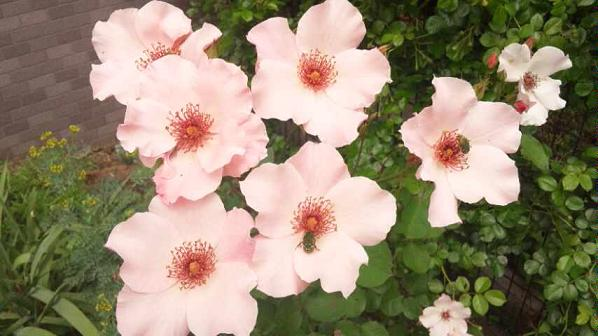 Ayura*Rose6周年*_d0085018_0143364.jpg