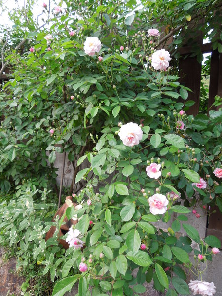 我が家の庭も賑やかになりましたNO3_d0171630_17421019.jpg