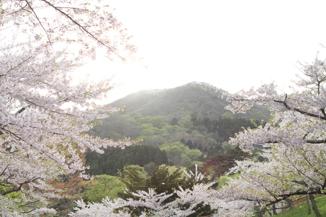 桜景 2012_d0179447_025046.jpg