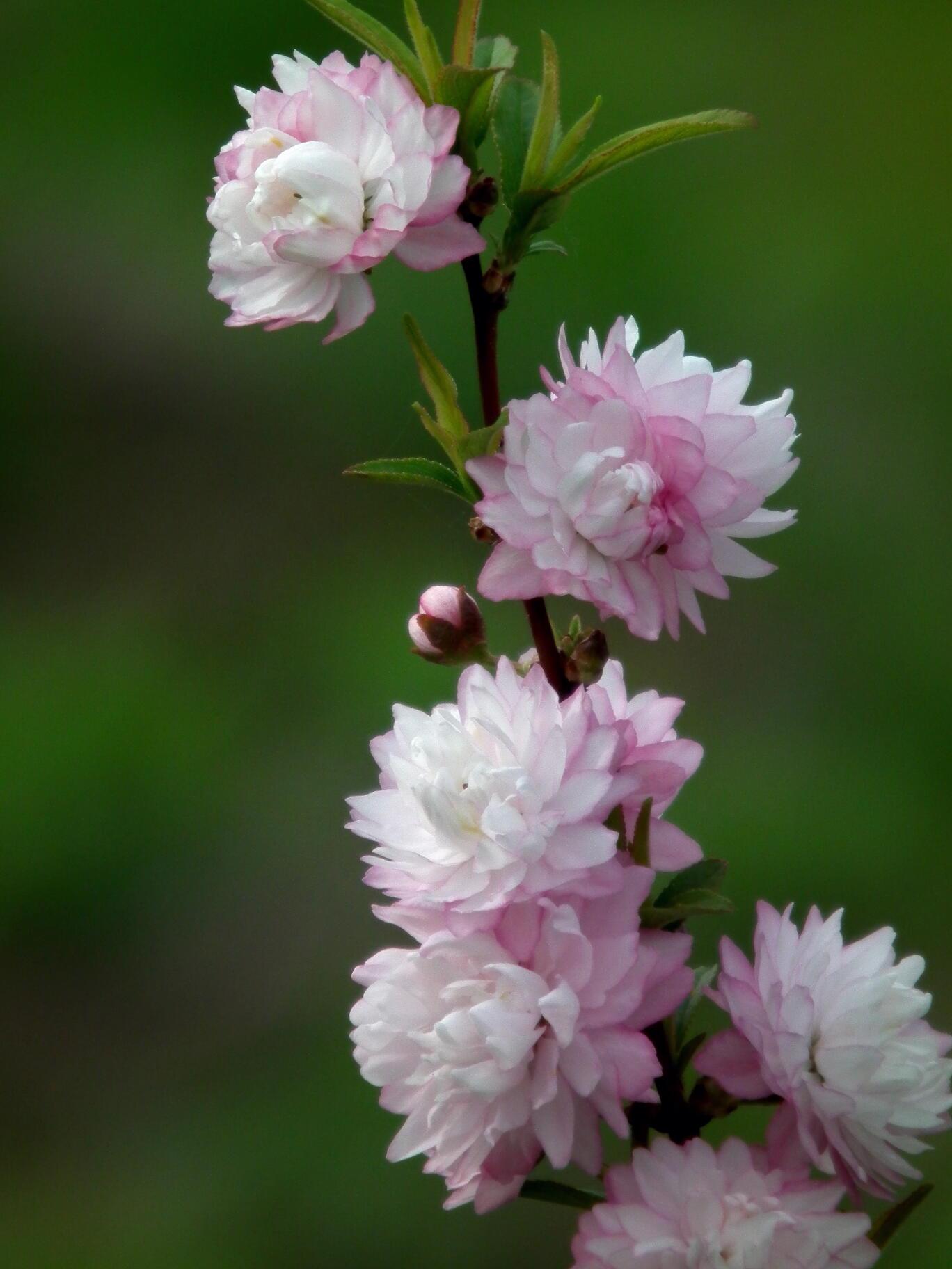 中国では麦李…日本では庭桜_e0064158_23521732.jpg