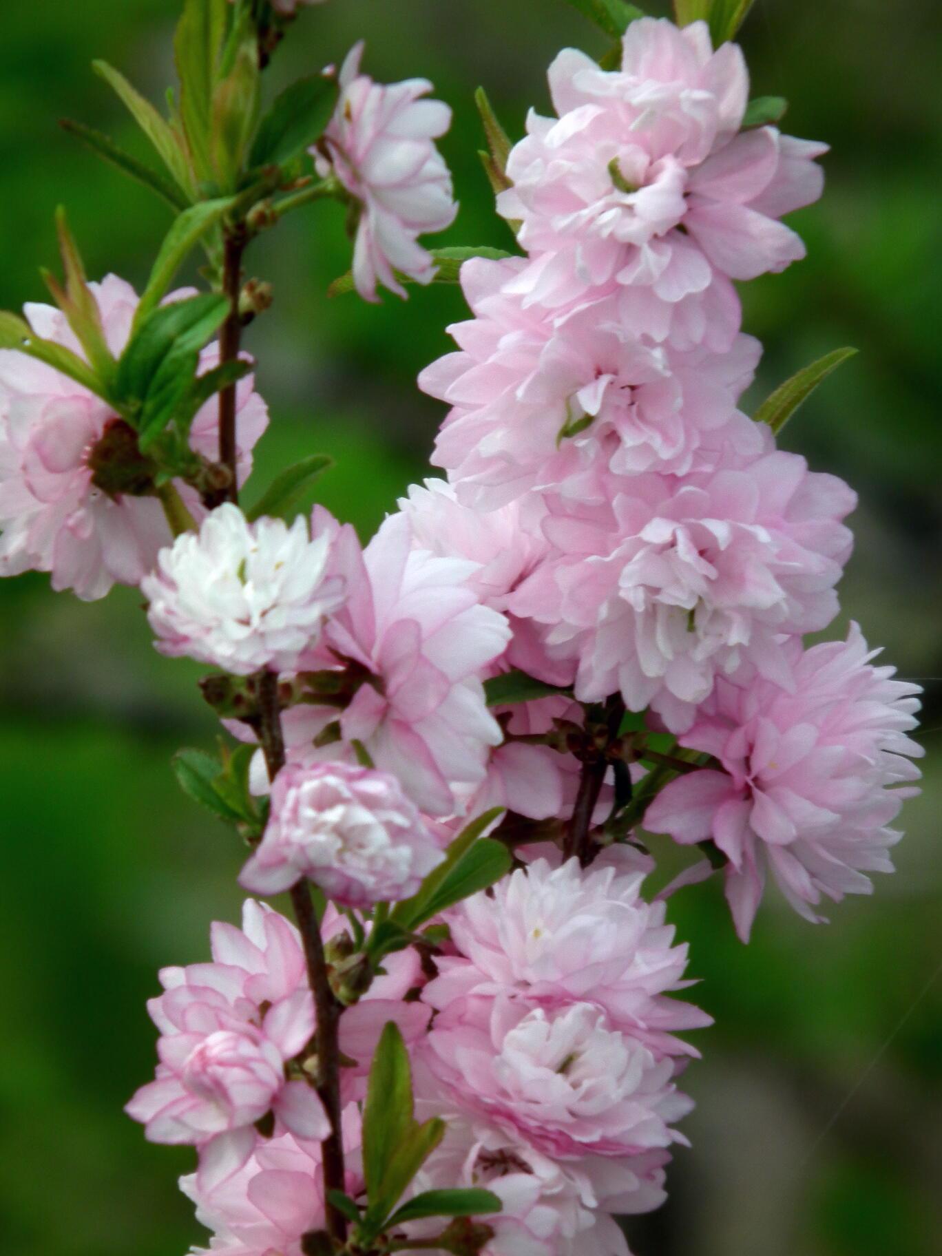 中国では麦李…日本では庭桜_e0064158_23523181.jpg