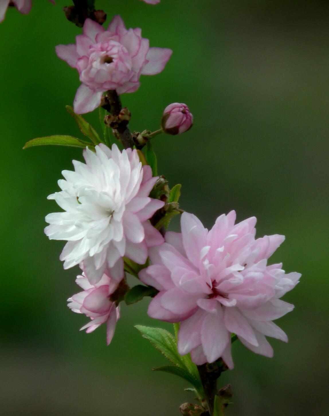 中国では麦李…日本では庭桜_e0064158_235244.jpg
