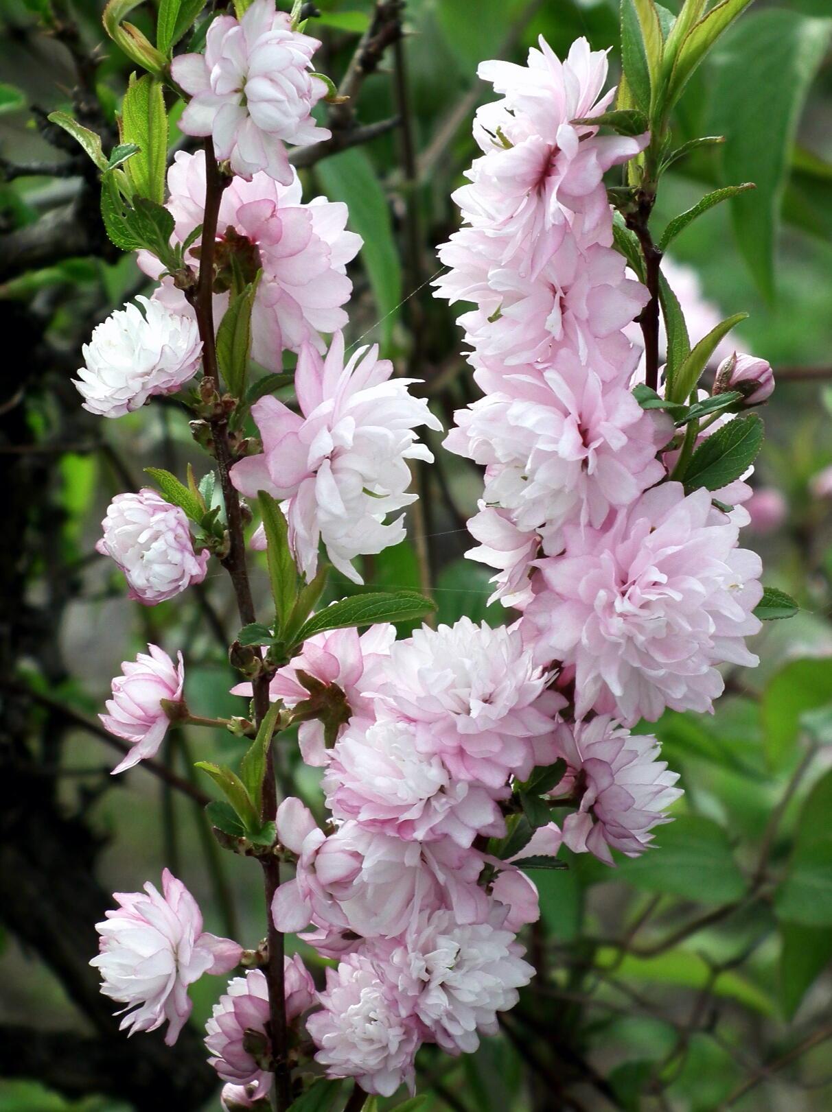 中国では麦李…日本では庭桜_e0064158_23524415.jpg