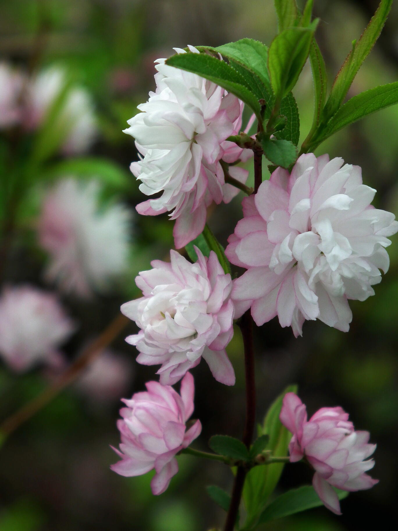 中国では麦李…日本では庭桜_e0064158_23531079.jpg