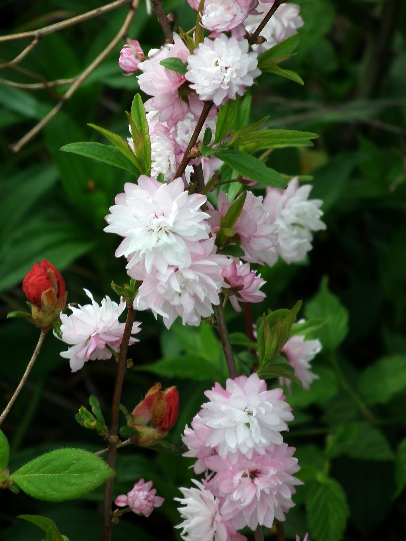 中国では麦李…日本では庭桜_e0064158_23542148.jpg
