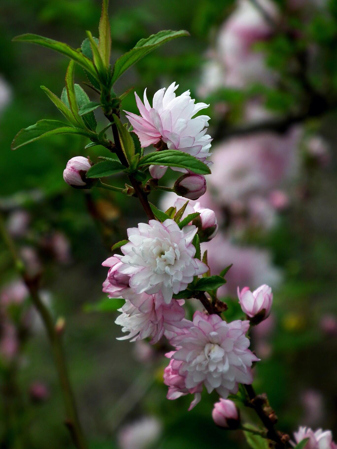 中国では麦李…日本では庭桜_e0064158_23544363.jpg