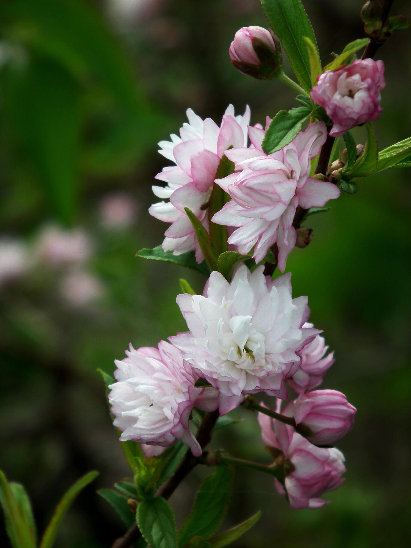中国では麦李…日本では庭桜_e0064158_23552220.jpg