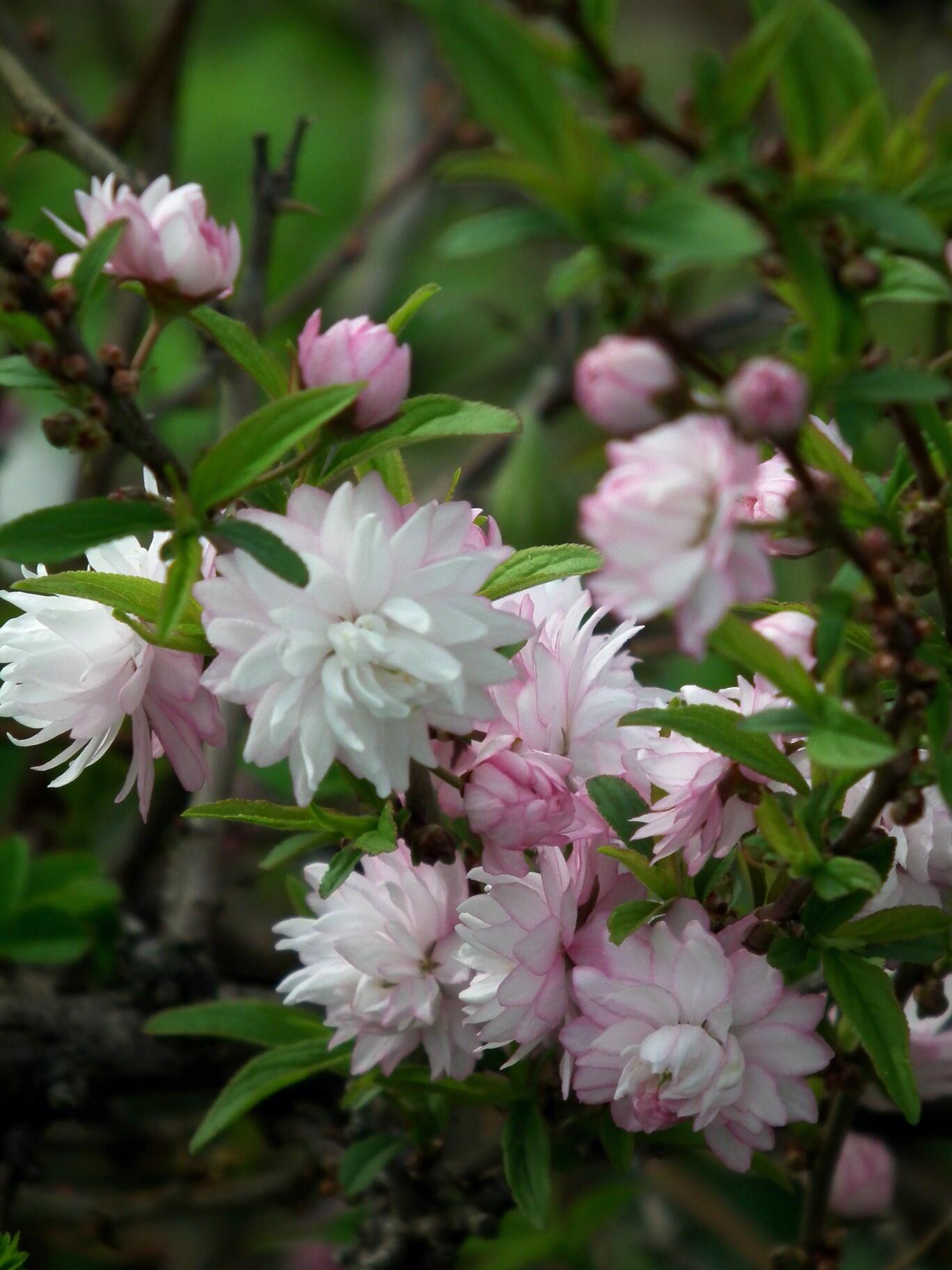 中国では麦李…日本では庭桜_e0064158_235540100.jpg