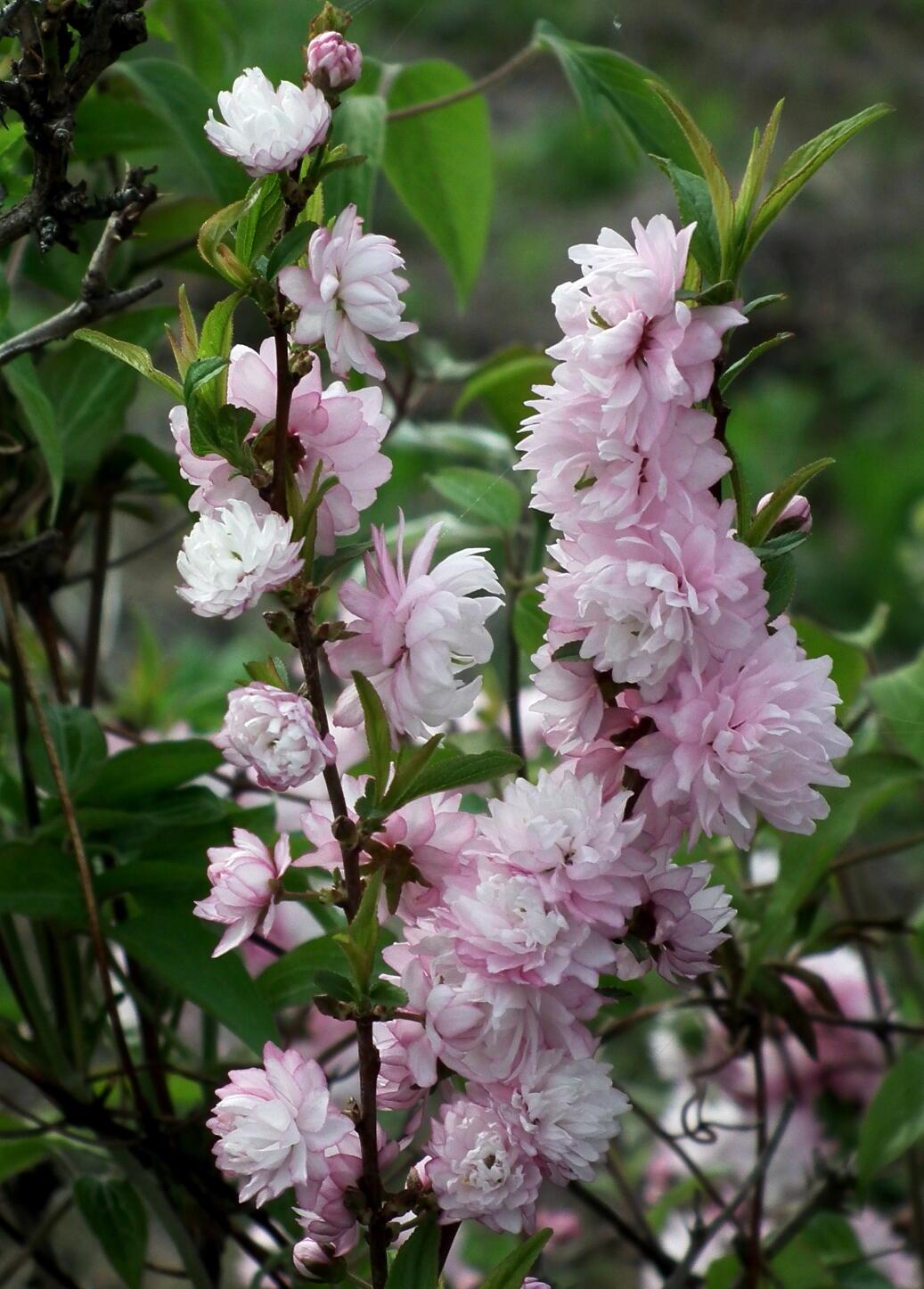 中国では麦李…日本では庭桜_e0064158_23555364.jpg