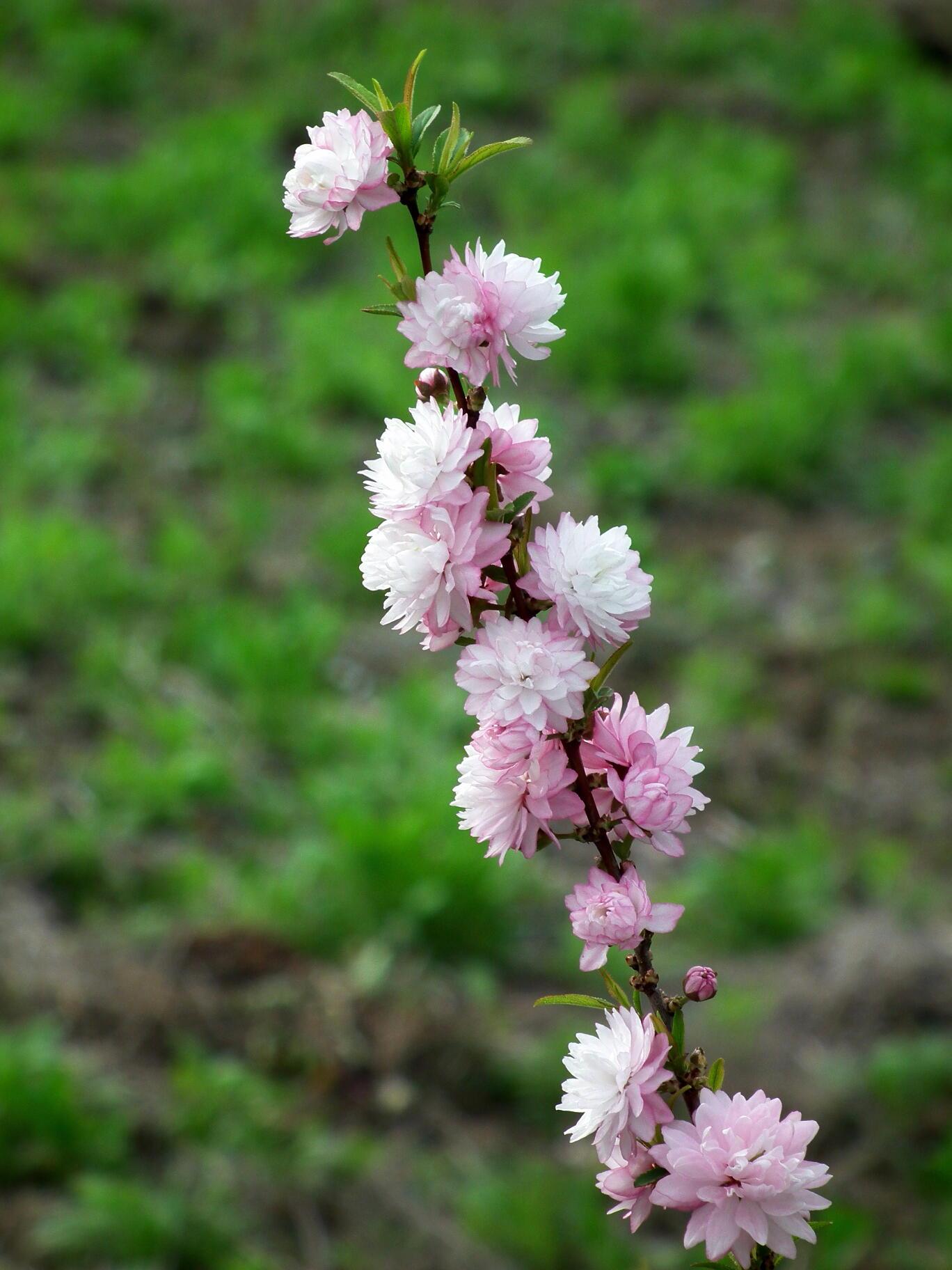中国では麦李…日本では庭桜_e0064158_2355627.jpg