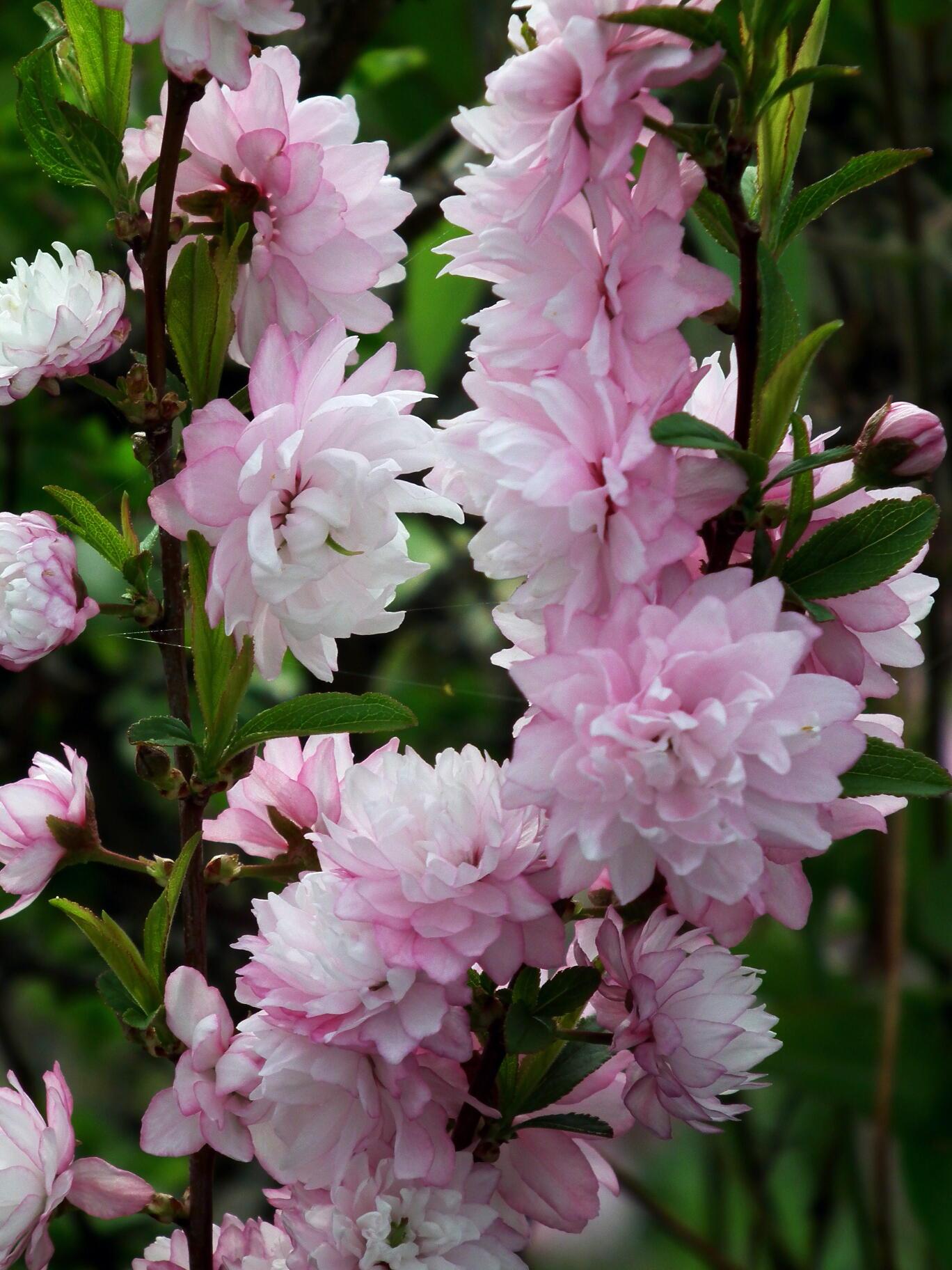 中国では麦李…日本では庭桜_e0064158_23561734.jpg