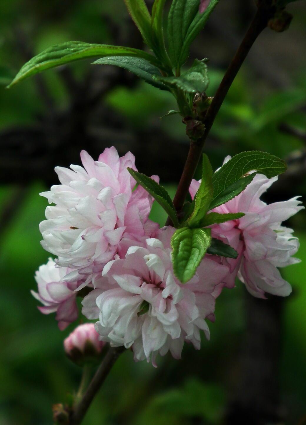 中国では麦李…日本では庭桜_e0064158_2356429.jpg