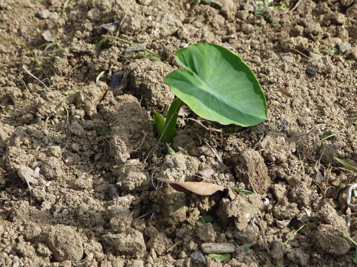 サツマイモの苗植え付け、サトイモ発芽など(5・7、11、15)_c0014967_810888.jpg