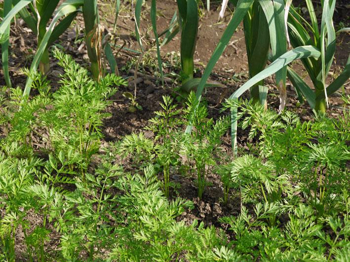 サツマイモの苗植え付け、サトイモ発芽など(5・7、11、15)_c0014967_813796.jpg