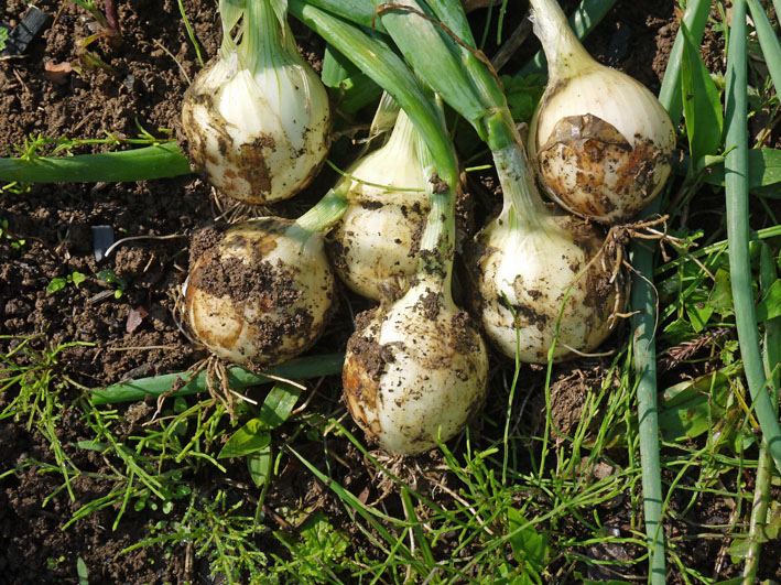 サツマイモの苗植え付け、サトイモ発芽など(5・7、11、15)_c0014967_8165741.jpg