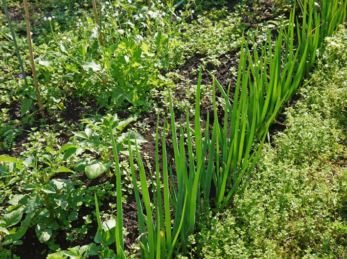 サツマイモの苗植え付け、サトイモ発芽など(5・7、11、15)_c0014967_8274877.jpg