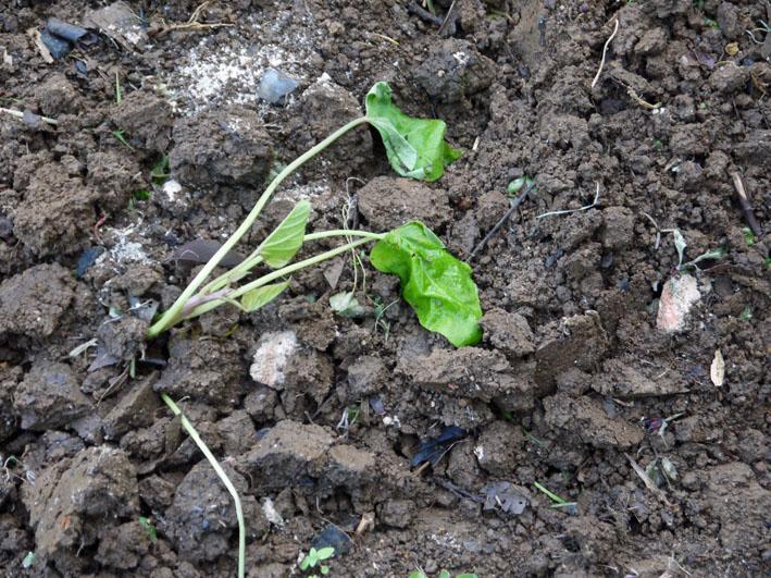 サツマイモの苗植え付け、サトイモ発芽など(5・7、11、15)_c0014967_8282646.jpg