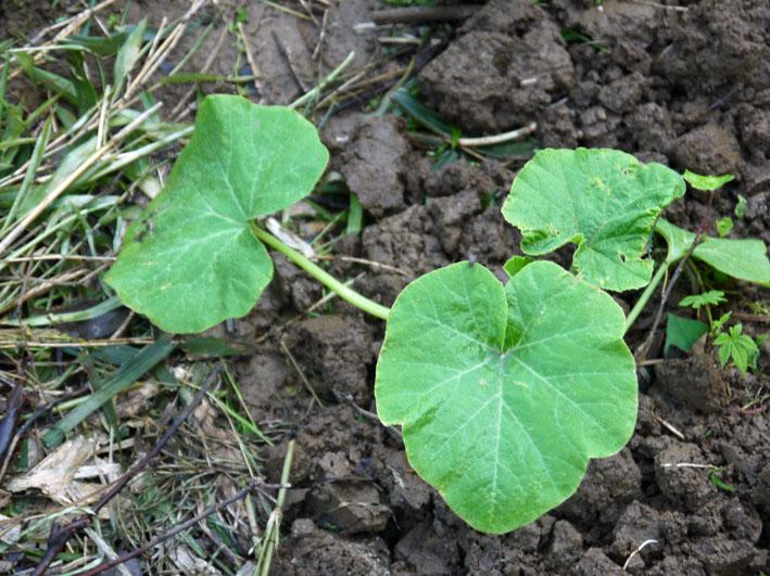 サツマイモの苗植え付け、サトイモ発芽など(5・7、11、15)_c0014967_82917100.jpg