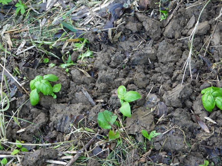 サツマイモの苗植え付け、サトイモ発芽など(5・7、11、15)_c0014967_8295987.jpg