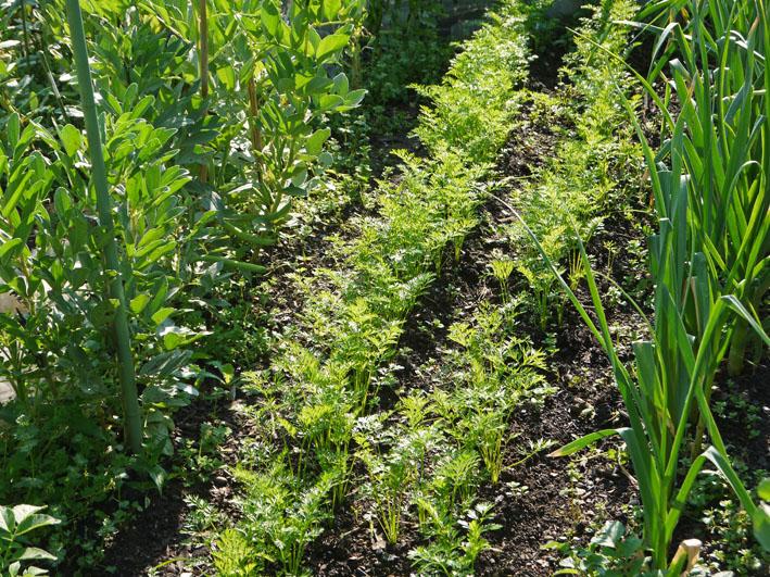 サツマイモの苗植え付け、サトイモ発芽など(5・7、11、15)_c0014967_8312982.jpg