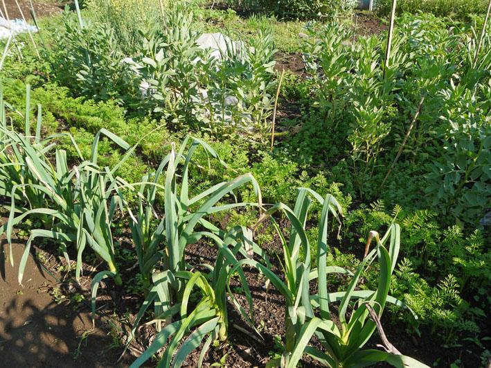 サツマイモの苗植え付け、サトイモ発芽など(5・7、11、15)_c0014967_8314798.jpg