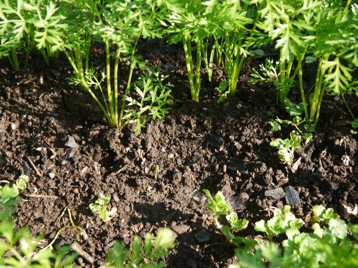 サツマイモの苗植え付け、サトイモ発芽など(5・7、11、15)_c0014967_831836.jpg