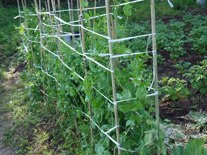 サツマイモの苗植え付け、サトイモ発芽など(5・7、11、15)_c0014967_8453655.jpg