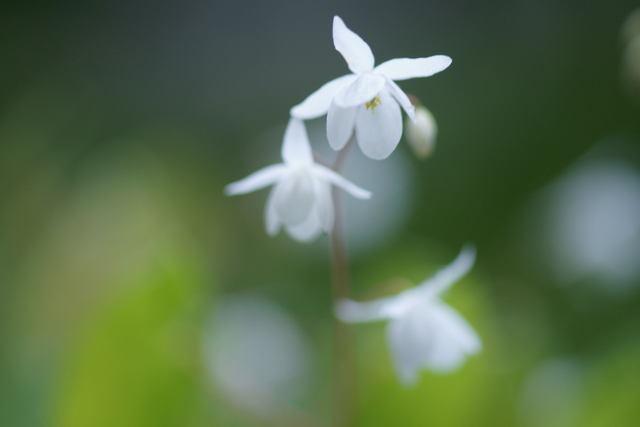 自宅の花(9)ノビネチドリ_b0223668_6304553.jpg