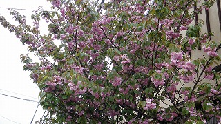 日本人の潔さは桜にたとえられるのだが・・・_d0027486_803197.jpg