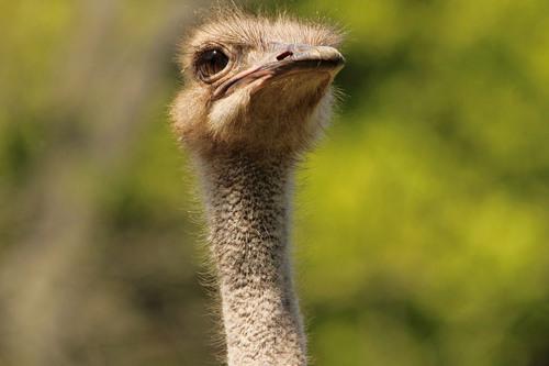 ダチョウ:Ostrich_b0249597_16473745.jpg