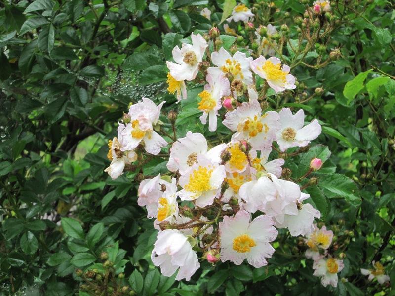 甘い薔薇の香りが。。。_a0208899_13133354.jpg