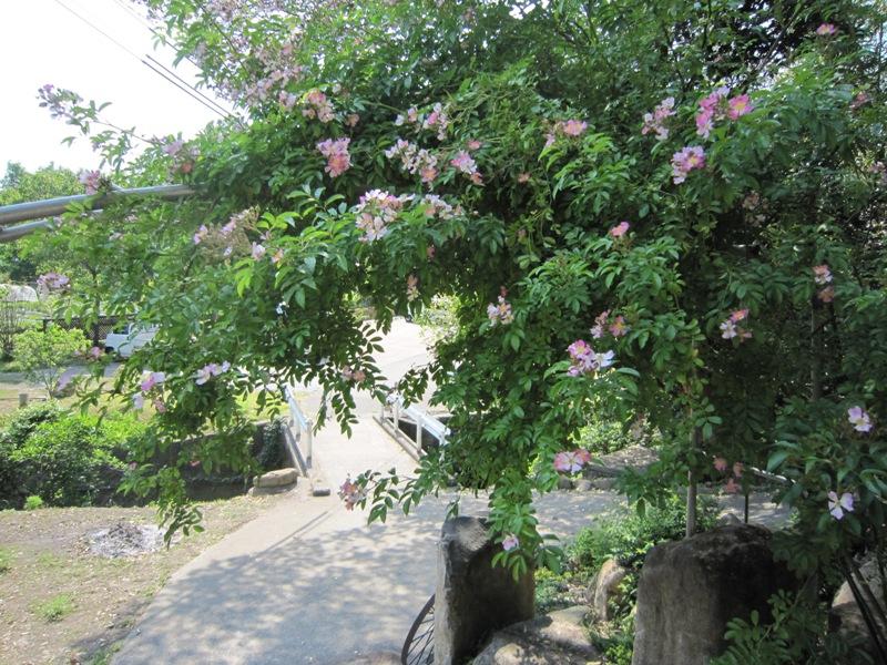 甘い薔薇の香りが。。。_a0208899_13141321.jpg