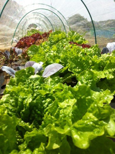 夏前 最後のレタス達・・やはり葉物は涼しい気候が美味しいです_c0222448_15461273.jpg