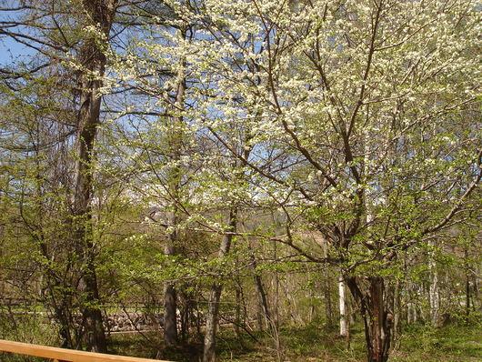 久しぶりの五月晴れ*満開のスモモとベニバナイチヤクソウ_a0217365_10133294.jpg