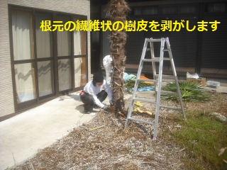 フエンス設置・他シュロの木伐採_f0031037_16425059.jpg