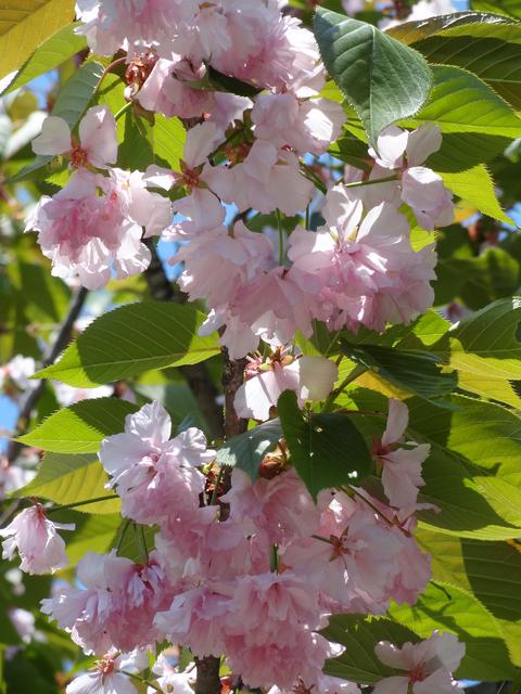 桜のじゅうたん_a0233551_1323897.jpg