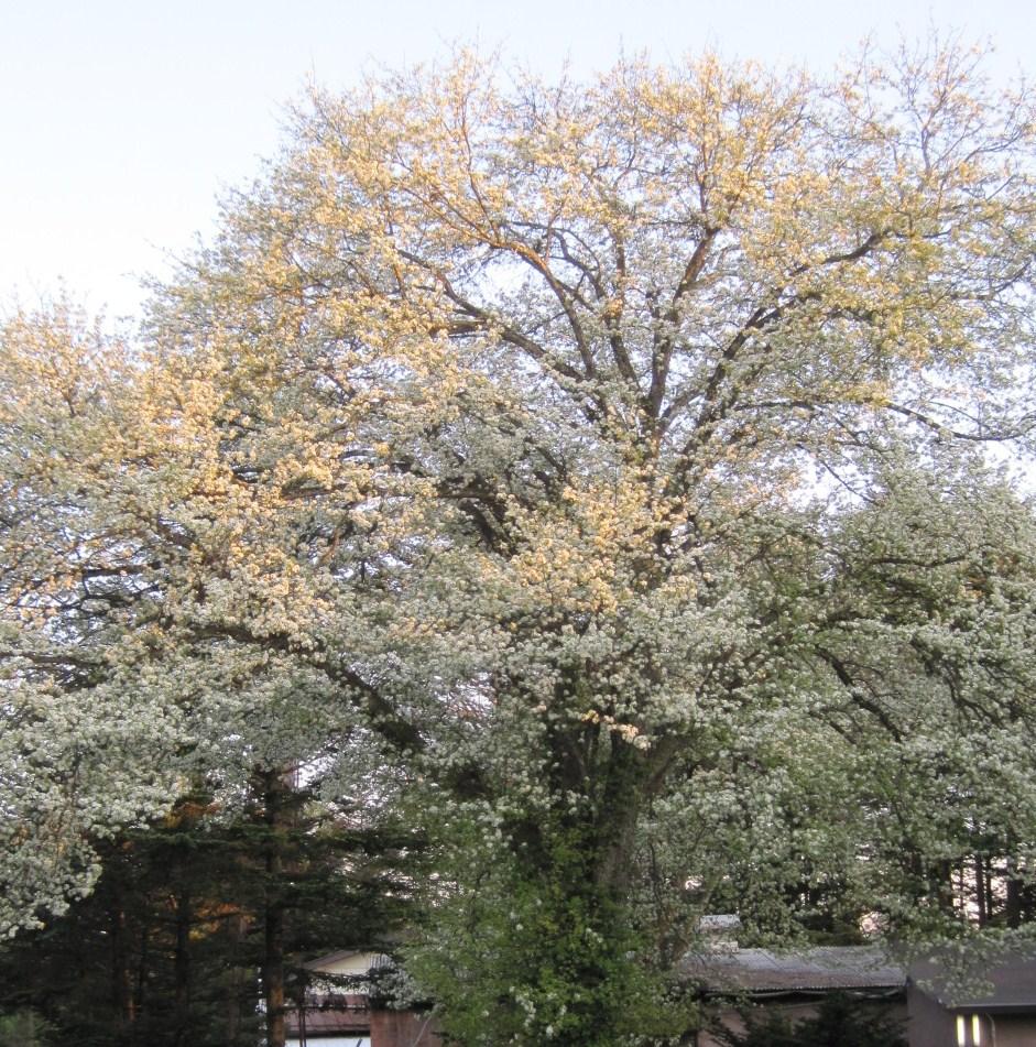 ヤマナシの木陰で_f0236260_22313761.jpg